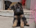 警犬工作犬纯种德牧幼犬弓背弓脚德牧小狗 疫苗齐全