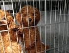 出售纯小型泰迪狗狗