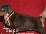 专业繁殖杜宾犬一血统纯正一价格合理出售包健康纯种