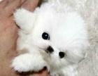出售纯种英系哈多利球体博美长不大的狗狗