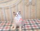 成都哪里有卖布偶猫宠物猫 纯种布偶猫价格