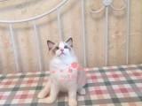 兰州哪里有卖布偶猫,两个半月布偶猫多少钱一条