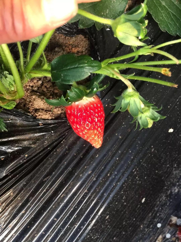 即墨市草莓采摘 批发
