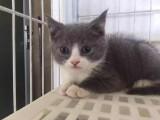 杭州出售英短蓝白,CFA注册猫舍,可预订保健康