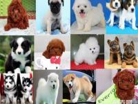 成都最大狗场各种幼犬出售加微信送用品边牧金毛阿拉斯加哈士奇