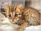 出售纯种 孟加拉豹猫 可见父母 质保无忧 售后完善随时联系