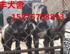 朝阳卡斯罗犬价格,出售纯种卡斯罗犬