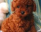养不死才是王道 名牌基地直销泰迪犬 健康保障