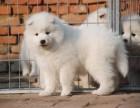 西安出售3个月的萨摩耶犬(公母均有)包犬瘟细小-签协议