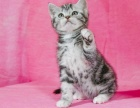 广州 暹罗猫 **品质 暹罗宝宝 活泼可爱 可
