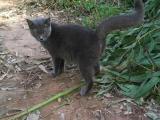 出售纯种英短小蓝猫
