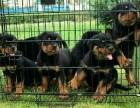 疫苗做好纯种罗威纳犬健康有保障签署协议支持送上门
