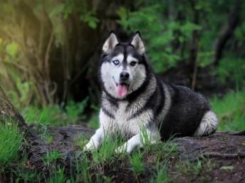 长沙直销 金毛犬哈士奇犬萨摩耶一阿拉犬一德牧犬松狮犬品种齐