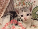 ㈛㉮C F A 猫舍出售纯种美国短毛猫
