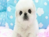 CKU认证犬舍出售纯种京巴宝宝专业品质,品相极佳