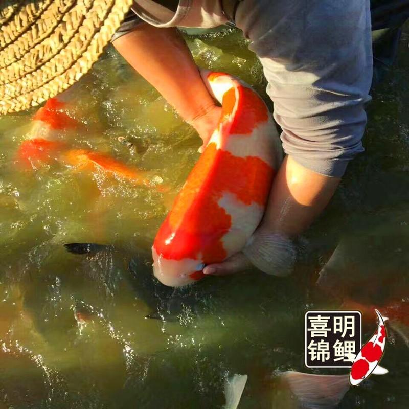 2018年喜明观赏鱼金鱼锦鲤红彩鲫鱼水花鱼苗大量批发供应中