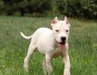 北京正规繁殖基地出售大中小型宠物犬保健康可送上门选