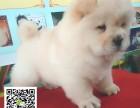 郑州哪里有松狮犬卖 哪里有狗场卖松狮幼犬 松狮幼犬价格图片