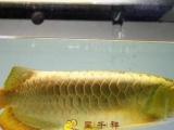 观赏鱼 红龙鱼 金龙鱼 蓝底 过背 缸鱼 皇冠 珍珠
