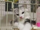 有偿领养家养起司猫