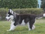 家养一窝纯种哈士奇可以签协议 来家里看狗父母