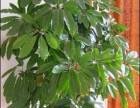 四季绿洲专业室内花卉绿植租摆室外花木草坪种植养护