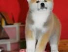 重庆哪里出售秋田犬 重庆家宠物店信誉好
