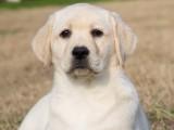 賽級拉布拉多犬,保健康保純種,合同三包,支持送貨