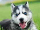 自家犬舍出售健康纯种哈士奇 公母都有 质保三个月