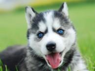 蓝眼睛 三把火 哈士奇 带给你高品质梦幻生活