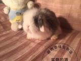 长期批发各种垂耳兔猫猫兔侏儒兔