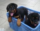丽江卖罗威纳 丽江狗场常年出售 罗威纳 德国牧羊犬