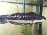 大铅笔鱼招财猫鱼