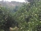 红江农场十七队福旺红江橙生产基地