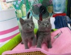 出圆脸蓝猫2母3公健康活泼爱粘人