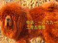西安本地藏獒园,大狮头藏獒对外配种