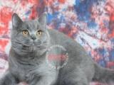 英短蓝白蓝猫DDMM求富养