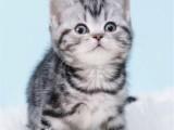 广州哪里有卖猫的 广州买美短猫哪里好 美短猫多少钱一只