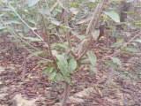 带土出售兰丁砧木樱桃苗(厂家)兰丁砧木樱桃苗供应商