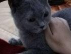 因即将离开丽江,现将爱猫转让