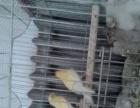出售各种玩赏鸟
