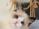 福建厦门纯种仙女猫到手价格