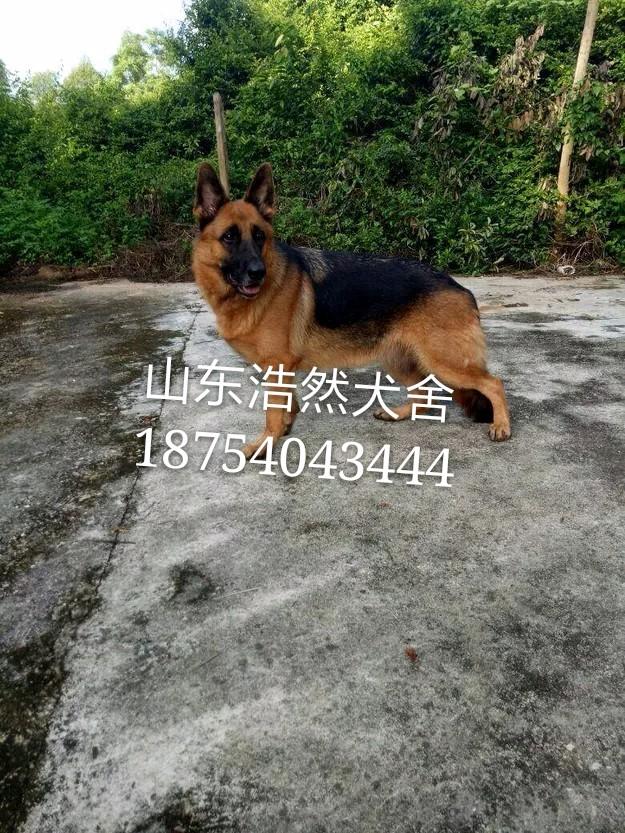 广州纯种德国牧羊犬 品相** 双血统