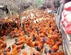 广西浦北县长寿之乡出售150日--200日项鸡 大阉鸡