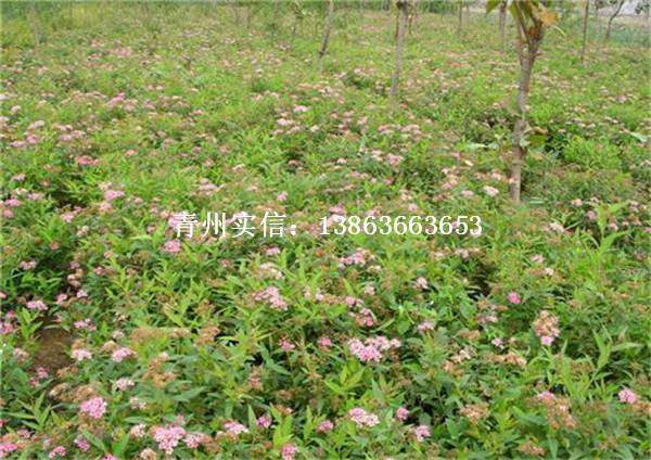 供应各种规格绣线菊——优质金焰绣线菊