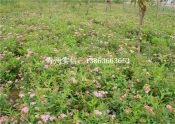 潍坊有品质的绣线菊供应,哪里有绣线菊
