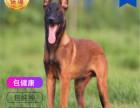哪里有卖嘛犬马犬多少钱 支持全国发货