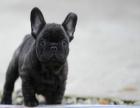 中国较大双血统英国斗牛犬繁殖基地 可实地考察