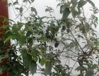 自家种植十几年的金银桂花树