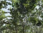 巨紫荆 基地直销 规格齐全 易栽培绿化苗木